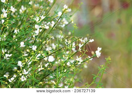 Broom With White Blossoms, Nature Background With Copy Space
