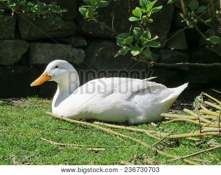 White Campbell Duck With Orange Beak Lying Down In A Backyard Garden On A Sunny Summers Day.