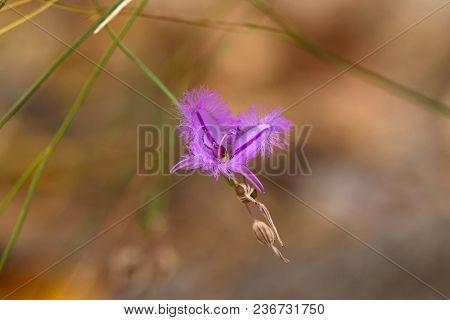 Pink purple flower of Fringe lily with fringed edges, endemic to Southwest Australia on blurred background