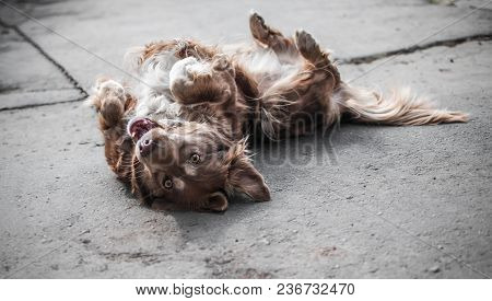 Portrait Of Cute Brown Or Red Dog Chained And Playing On Old Rustic Courtyard. Happy Playful Dog Pla