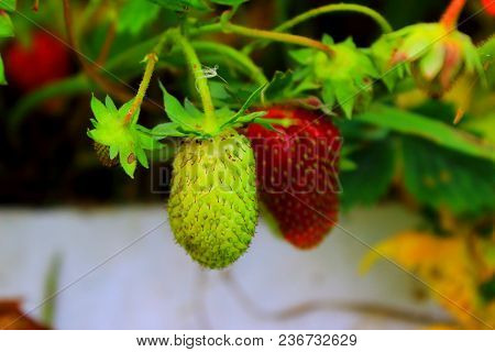 Strawberry on a branch. Strawberry with leaves. Ripe strawberries in the garden. Fresh strawberry. Summer berries. Delicious and healthy vegetarian food. Unripe green strawberries