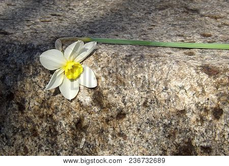 The Flower Of The Narcissus Lies On The Granite, The Concept Of The Narcissus Fiasco.