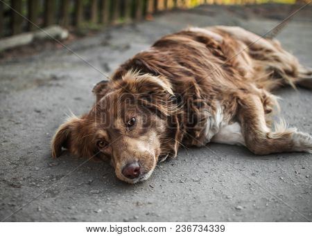 Close-up Portrait Of Cute Sad Or Unhappy Chained Brown Or Red Dog Lying Or Resting On Old Rustic Cou
