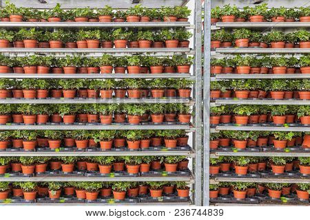 Greenhouse With Racking System Of Flower Bed Plants In Pots