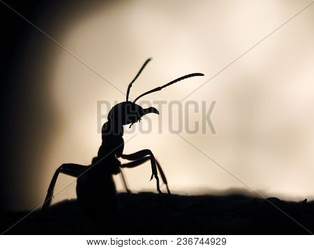 The Silhouette Of An Ant. Large Ant At Sunset. Macro