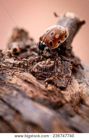 Big Orange Ladybug On Old Worn Piece Of Tree