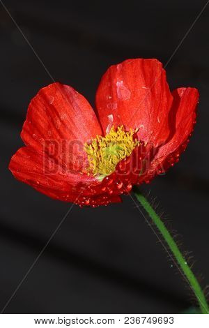 A Close Up Of A Wet Poppy Flower In The Srping Season.