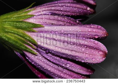 A Close Up Of An African Daisy Flower With Water Drops.