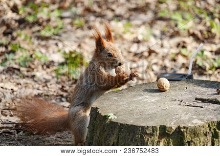 Red Squirrel On A Tree Stump With Nuts