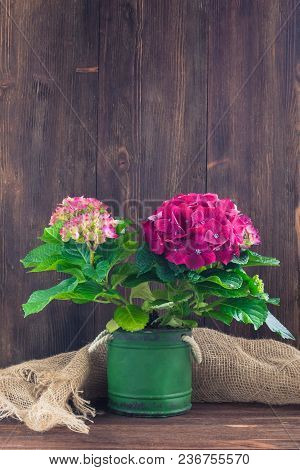 Purple Hydrangea In A Vintage Pot, Isolated, With A Copyspace