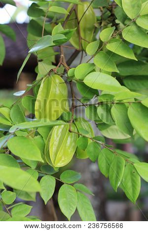Unripe carambolas on the tree