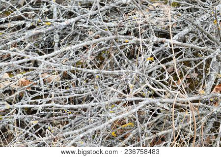 Texture Of Old Rotten Little Thin, Dilapidated Sticks, Twigs, Straws With Knots And Dry Leaves With