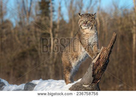 Bobcat (lynx Rufus) Stands On Log Ears Back - Captive Animal
