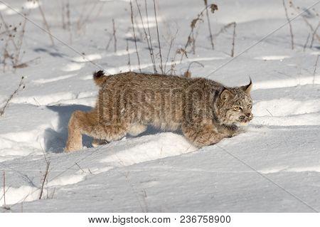 Canadian Lynx (lynx Canadensis) Jumps Through Snow - Captive Animal