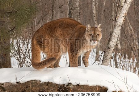 Adult Female Cougar (puma Concolor) Paw Up On Rock - Captive Animal