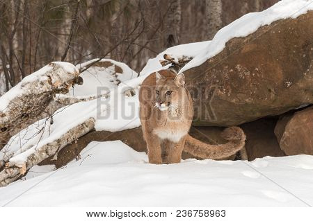 Adult Female Cougar (puma Concolor) Stands In Front Of Den - Captive Animal