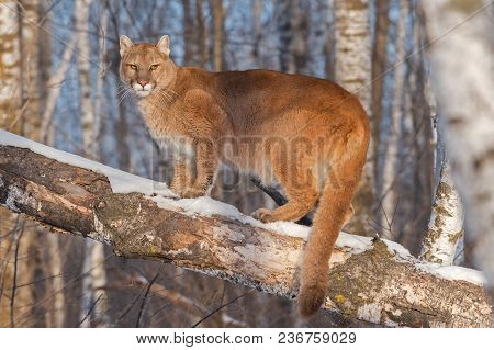 Adult Female Cougar (puma Concolor) Annoyed In Tree - Captive Animal