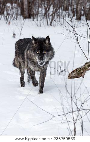Black Phase Grey Wolf (canis Lupus) Walks Forward - Captive Animal