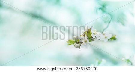 Branch With Fresh Bloom Of Wild Plum-tree Flower Closeup In Garden. Spring Blossoming Spring Flowers