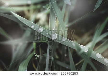 Fresh Green Grass With Dew Drops Close Up. Green Grass Background. Drop Of Dew In Morning On Leaf. N