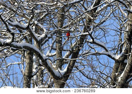 A Male Northern Cardinal On Snowy Tree Branches.