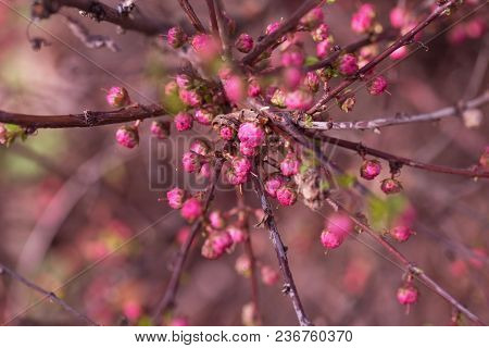 Branch With Little Pink Flowers Twig Shrub With Small Pink Flowers Flowers In The Garden At Springti