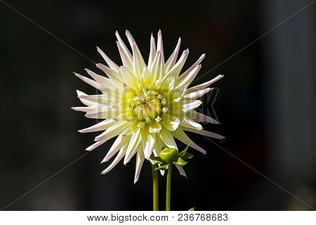 Bright Yellow-green Dahlia On A Dark Background.