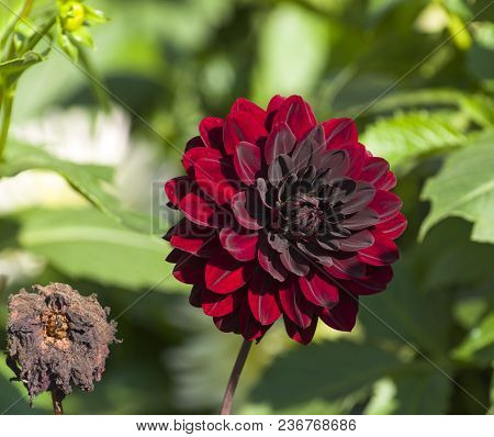 A Bright Burgundy Dahlia Next To A Dried Flower.