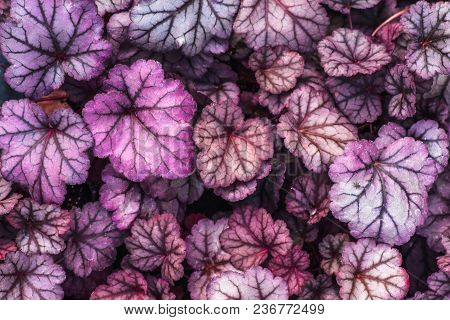 Purple Heuchera Hybrid Obsidian, Top View. Bright Natural Ultra Violet Leaves Of Heuchera In Glassho