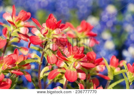 Close-up Of Indian Paintbrush Wildflowers. Texas Bluebonnets In The Background. Shallow Depth Of Fie