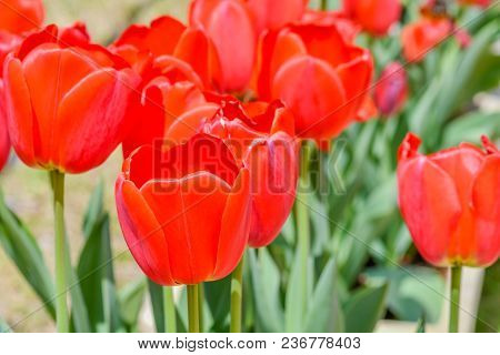 Closeup Of Beautiful Red Tulip With Soft Blurred Background On Sunny Afternoon.