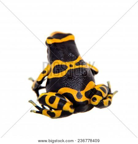 The yellow-banded poison dart frog, Dendrobates leucomelas on white background. poster