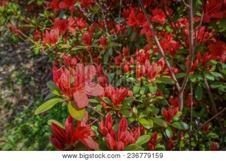 Closeup Of Beautiful Red Spring Flower And Green Leaves With Soft Blurred Background.