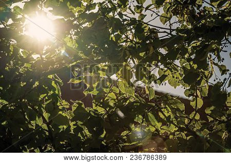 Branch With Leaves And Sun Rays At Sunset In Tielt. Charming And Quiet Village In The Countryside, N