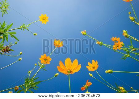 Yellow Flowers. Yellow Cosmos With Green Leaves Against The Blue Sky In Garden. Selective Focus.
