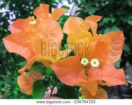 Orange Bougenvill Flower Photography, Generic Vegetation Plant