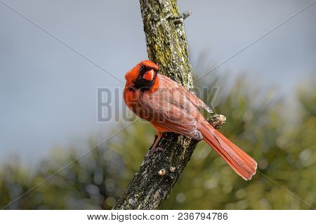 Bright Red Cardinalis Cardinalis, Northern Cardinal Male Sitting On A Dry Branch