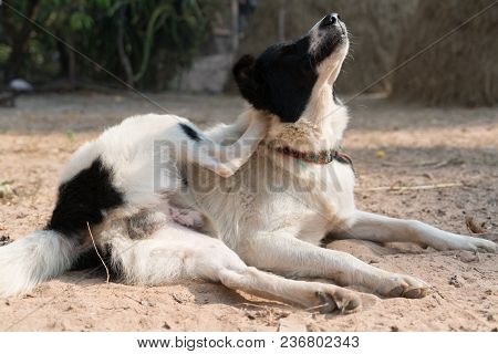 The Local Dog Black And White Laying Down On The Sand For Exercise Yoga
