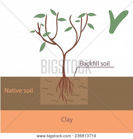 Correct Tree Planting Into Native Soil Infographic Flat Vector Illustration