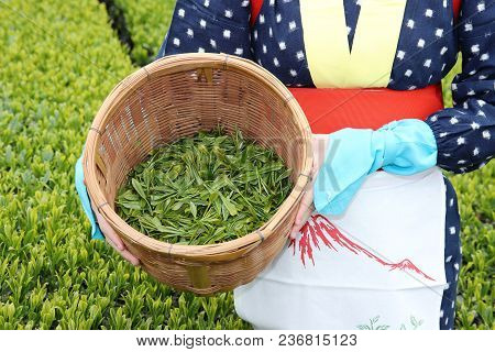 Young Japanese Woman With Traditional Clothing Kimono Harvesting Green Tea Leaves On Farmland Of Tea
