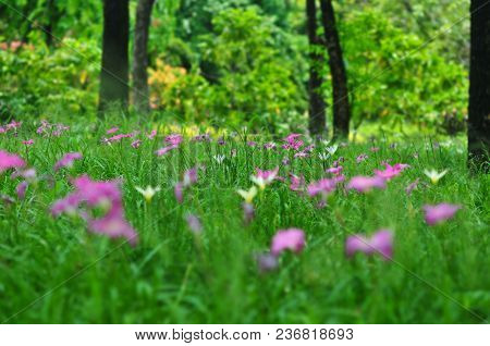 Field Of Pink-purple Zephyranthes Lily Or Rain Lily Flowers In Garden, Siam Tulip Flowers, Selective