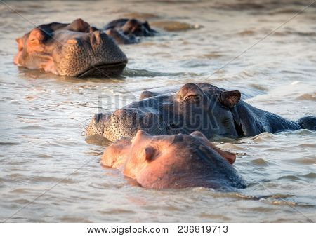 Four Contented Hippos Sleeping On The Water At Sunset. St. Lucia, South Africa
