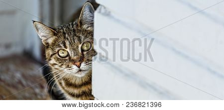Cat Peeking Out From Behind The Wall, Space For Text, Copy Space