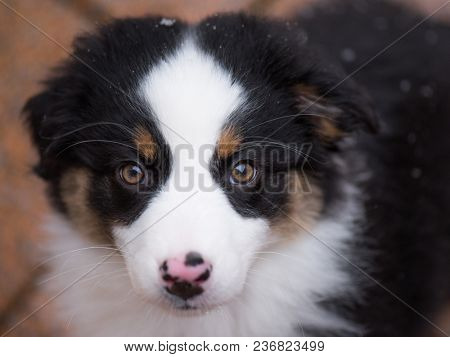 Close-up portrait of happy dog - beautiful Australian shepherd puppy looking away, outside in cold winter snow.