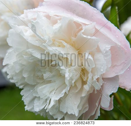 Peonies Blooming In The Garden Closeup Against A Green Background, Colorful Picture, Summer Mood