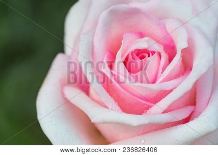 Pink Rose Close-up Can Use As Background.