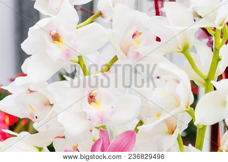 Beautiful  White Orchid (phalaenopsis) Flowers With Big Size Petals And Growing In Pot Inside Green
