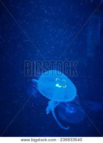 Jellyfish Swimming In Blue Light Aqurium Tank