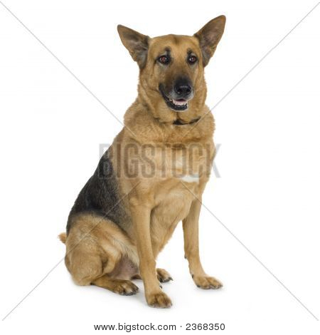 German Shepherd (9 Years)/ Alsatian, Police Dog