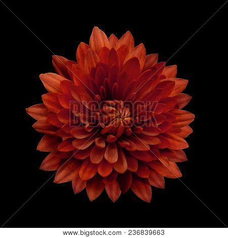 Red  Flower Dahlia  On The Black Isolated Background With Clipping Path.   Closeup.  No Shadows.  Fo